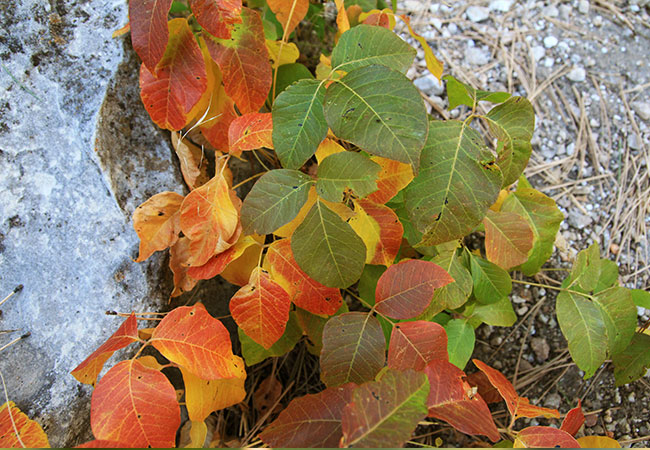 A poison ivy plant in the fall
