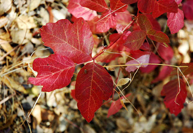 Red poison oak leaves